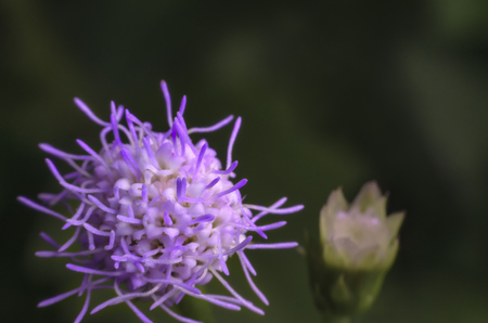 Details of small purple grass flower blossoming in nature on high magnification macro shot. Stock Photo