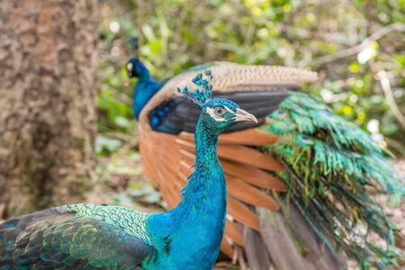 Couple of colorful peacock outdoors.