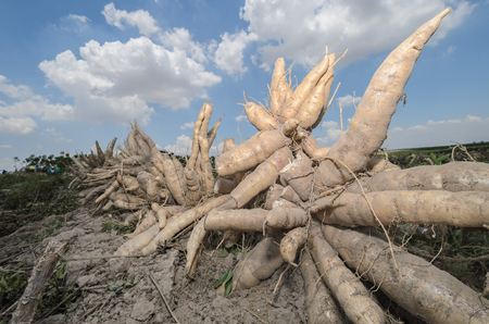 hidrógeno: Pila de yuca fresca cosechada en tierras de labrantío. Foto de archivo