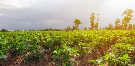 Workers in cassava field with sunset light and mountains background. Stock Photo