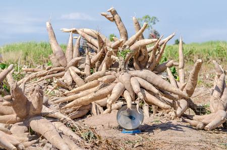 Fresh cassava harvested in farmland.