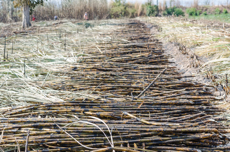 Sugar cane on field with farmers doing manual harvesting background.