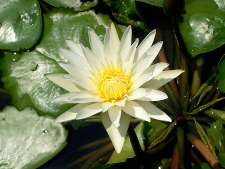 natureal: white lotus