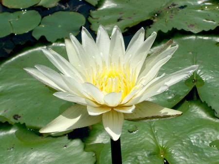 natureal: Fior di loto bianco