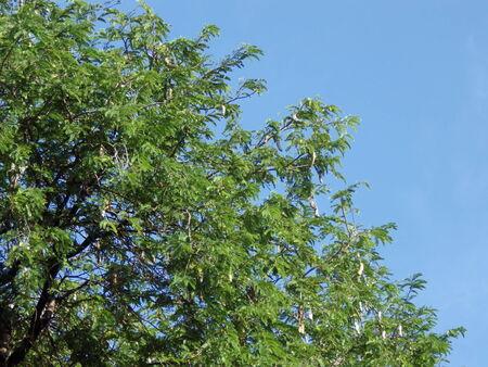 tree top of tamarind photo