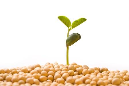 Fresh, pure natural soybean Stock Photo - 17074525