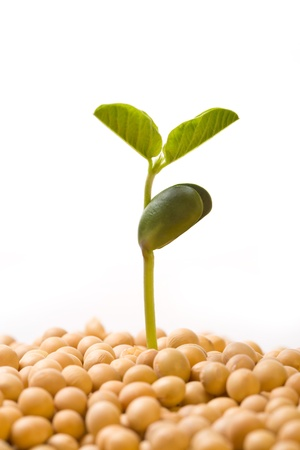 Fresh, pure natural soybean Stock Photo - 17074543