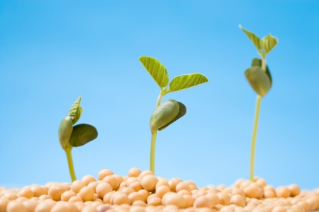 pollution free: Fresh, pure natural soybean Stock Photo