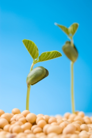 Fresh, pure natural soybean photo