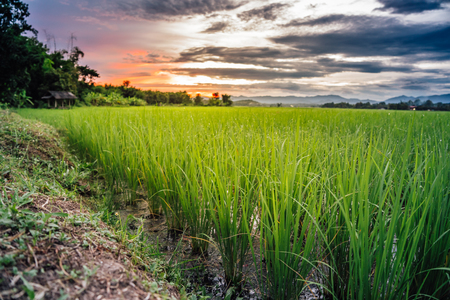 Green rice field in the evening Imagens