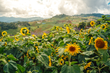 Sunflower on the mountain 写真素材