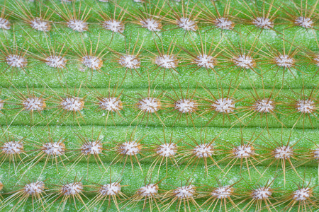 spines: Cactus spines