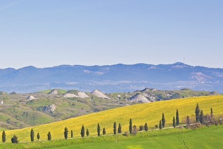 Cypress trees and yellow canola fields in the  photo