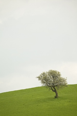 tuscan olive tree on a meadow