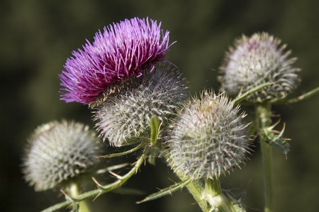 undemanding: purple thistle Stock Photo