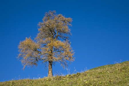 autumn colouring: larch in autumn Stock Photo