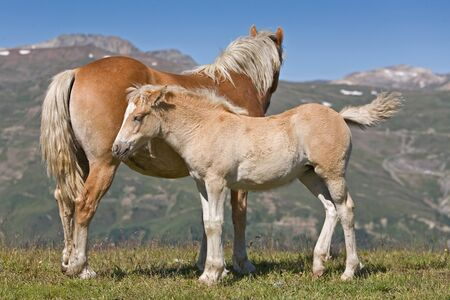 Foal and horse mother in mountains photo