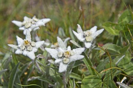velvety: Leontopodium alpinum Stock Photo