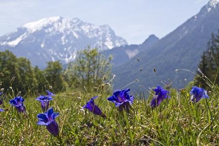 berchtesgaden: steamless gentian in Berchtesgaden alps Stock Photo