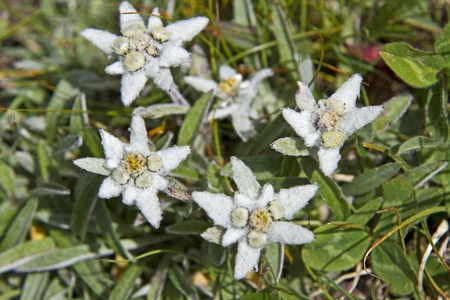 Leontopodium alpinum Stock Photo