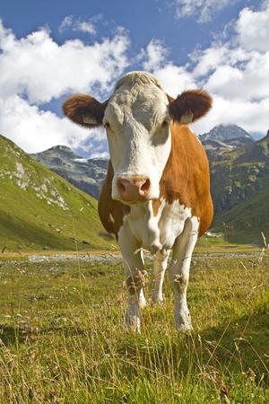 Cow in the valley Teischnitz