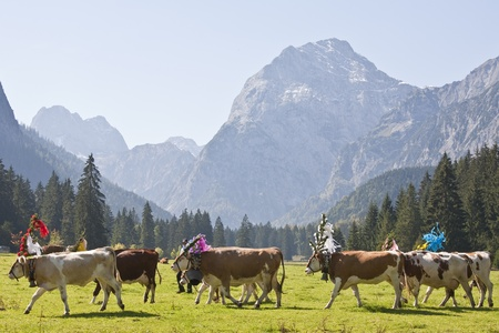 output of the cows to the valley Stock Photo