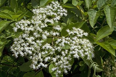 umbel: Umbel flowers of elderberry