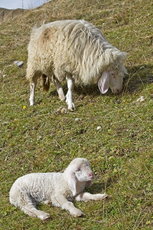 bleating: Little lamb sitting on a green field  and its mother Stock Photo
