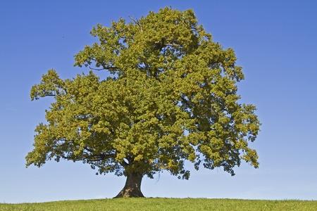 oak tree on meadow Reklamní fotografie