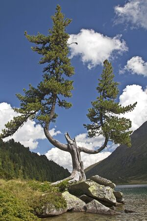 crippled: crippled  pine at the upper lake in East Tyrol Stock Photo
