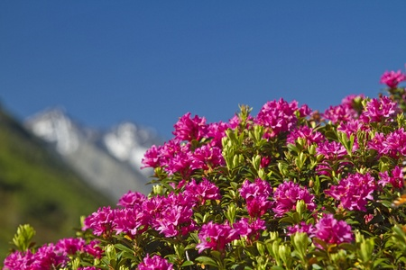 shrubs: rhododendron blooms in South Tyrol