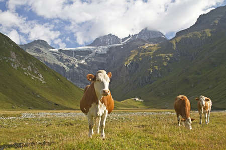 reported: Cows in East Tyrol and Grossglockner