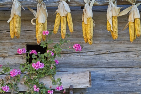 autumn motif: Corn cobs hanging to dry at a cabin wall Stock Photo