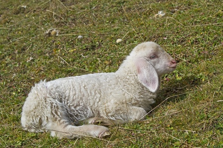 bleating: Little lamb sitting on a green field