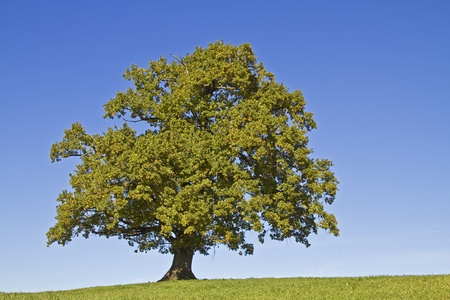 Oak tree standing alone on a green meadow