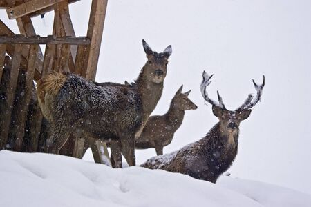 deer in front of a wooden manger in the snowy mountain forest