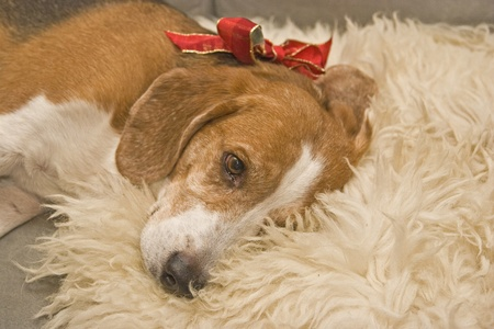 bloodhound: A Beagle with bow decorated as a gift