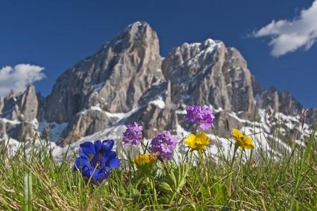 alpine flower in Dolomites Reklamní fotografie