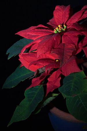 pulcherrima: Euphorbia pulcherrima Stock Photo