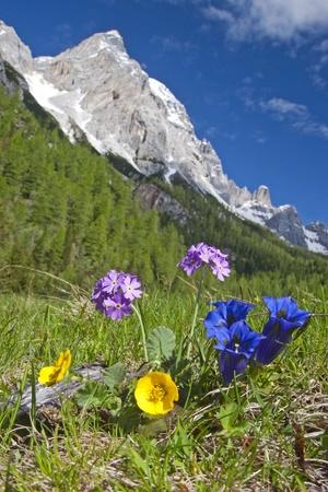 frhling: Bergblumen in den Dolomiten zur Frühlingszeit Stock Photo