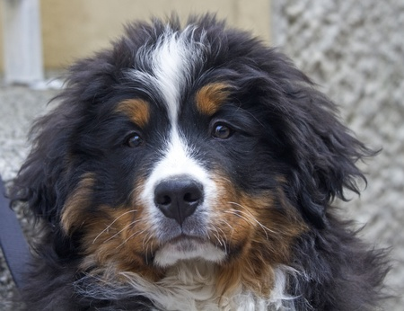 Portrait of a Bernese mountain dog puppies photo