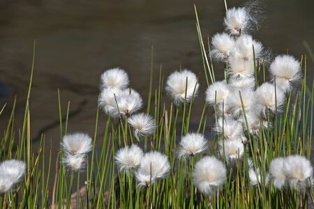 aquatic herb: Cotton grass at a high alpine mountain lake in the Aosta Valley