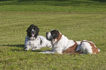 politely: Newfoundland dog and Saint Bernard dog