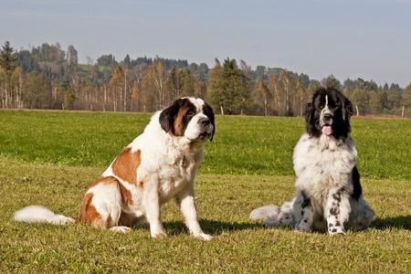 politely: Newfoundland dog and Saint Bernard dog