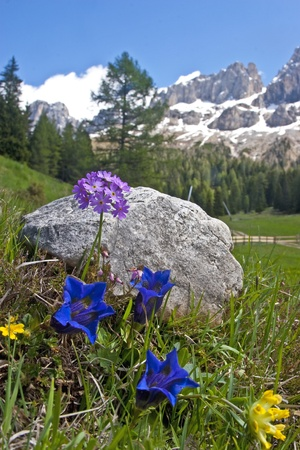 Alpine flowers in the Dolomites Stock Photo