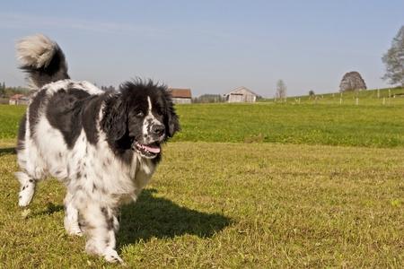 newfoundland dog: Newfoundland dog