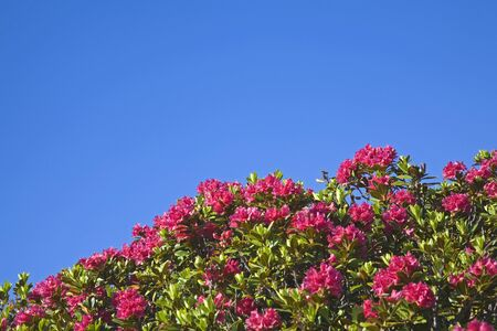 A red sea of flowers high up on the mountain Stock Photo - 12295115