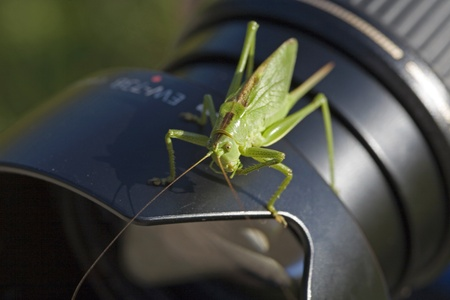 accessories horse: The grasshopper does not want the photographer to come in front of the lens Stock Photo