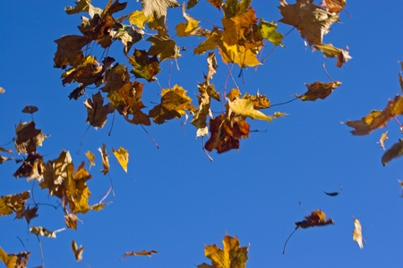 Falling autumn leaves against the blue sky