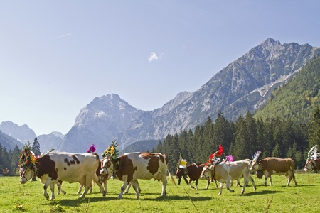 cattle output in Tyrol